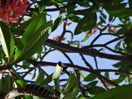 Tetrio sphinx giant gray sphinx frangipani hornworm or plumeria caterpillar