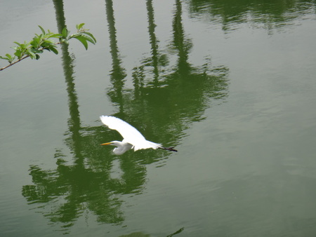 American egret flying over a lake - The great egret (Ardea alba), also known as the white heron, is a member of the heron family, Ardeidae. Stock fotó