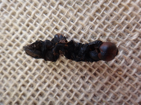 Ecdysis of the caterpillar of the specie Pseudosphinx tetrio. Ecdysis is the process of an arthropod moulting its exoskeleton. - Tetrio sphinx, frangipani hornworm or plumeria caterpillar