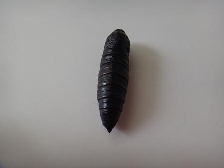 Pupa of the caterpillar known as the tetrio sphinx - Tetrio sphinx, frangipani hornworm or plumeria caterpillar