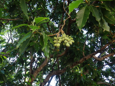 Fruits of champak tree