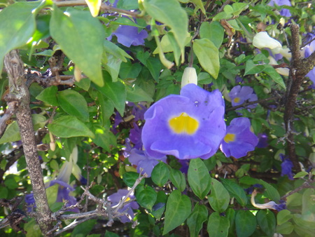 Thunbergia is an evergreen vine in the family Acanthaceae