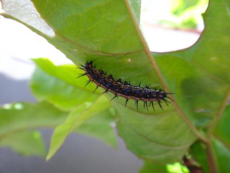 Caterpillar of dione juno on a leaf