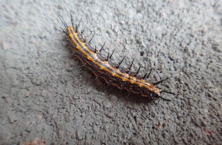Caterpillar of dione juno juno Stock fotó