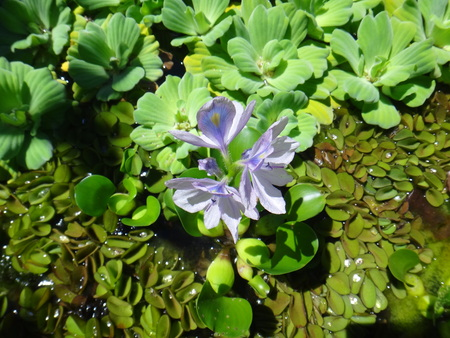 Eichhornia crassipes, commonly known as the common water hyacinth, is an aquatic plant native to the Amazon basin, and is a species of flowering plant of the genus Eichhornia in the family Pontederiaceae.