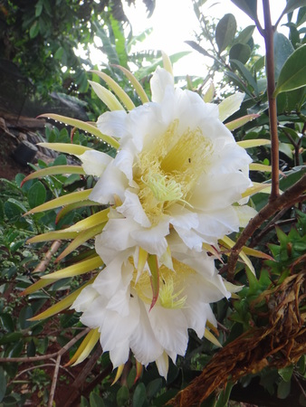 Flower - Belle of the night, bight-blooming cactus, cactus fruit, dragon fruit, Jesus in the cradle, night blooming cereus, pitahaya, pitaya or strawberry pear. Pitahaya is a species that commercially grown for its pitahaya fruit, and is also an impressive ornamental vine with huge flowers.