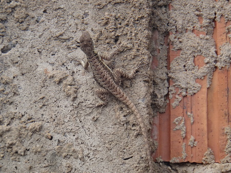 The lizard on the wall - The lizards belong to the group of animals called reptiles and have the body covered with scales instead of hairs or feathers. The lizard is a reptile that has a long body and tail, four legs, movable eyelids, and a rough, scaly, or spiny skin.