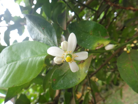 White flower of lemon plant - The lemon is a yellow, oval citrus fruit with thick skin and fragrant, acidic juice. Plump, ripe, juicy lemons ready for harvest in a lemon tree. The evergreen citrus tree that produces the lemon, widely cultivated in warm climates.