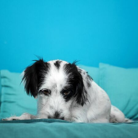 black and white dog - cyan background Archivio Fotografico