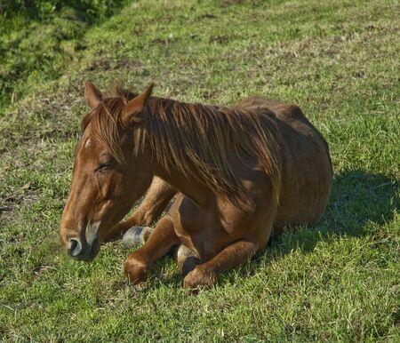 Cavallo sdraiato Archivio Fotografico