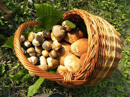 porcini: Cestino pieno di funghi Porcini