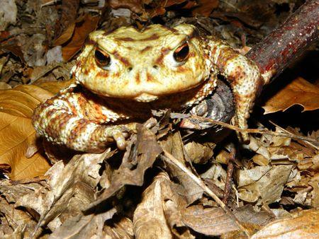immobile: primo piano di un rospo immobile nel bosco