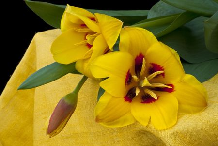 rely:  Yellow tulips rely more on canvas Indian yellow with black background