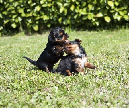 Yorkshire puppies for a month, playing on the lawn photo