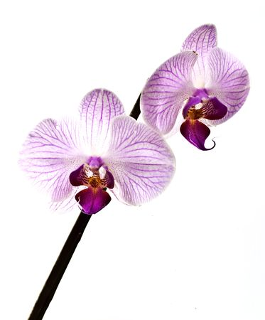 two mottled pink orchid on white background Standard-Bild