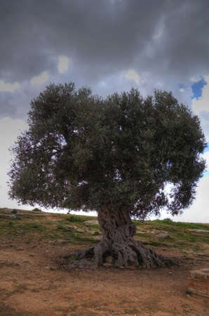 ancient olive tree in the interior of an archaeological park photo
