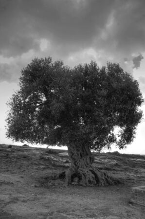 valley of the temples: Ancient olive tree to the Internal dela archaeological zone in the Valley of the Temples