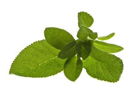 foglie: Foglie di salvia fresche su sfondo bianco