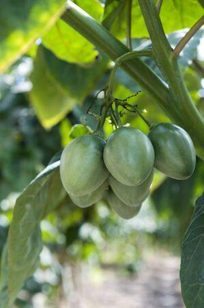 tamarillo: tamarillo plant in the Andes in Ecuador Stock Photo
