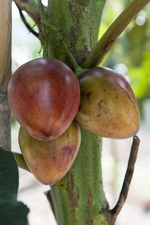tomate de arbol: tomate de árbol planta de los Andes en Ecuador
