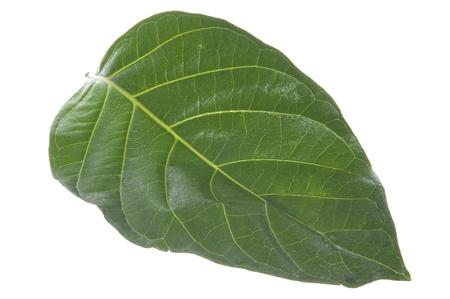 morinda citrifolia leaf on white background