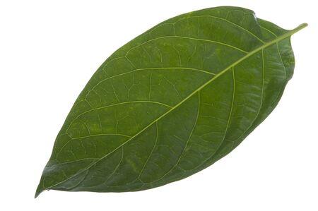 morinda citrifolia leaf on white background photo