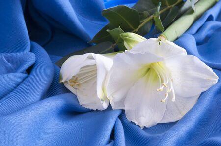 belladonna: a white flower amarillo on a blue background