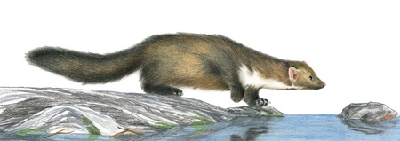 beech: A stone marten hunting - Artwork made with coloured pencils