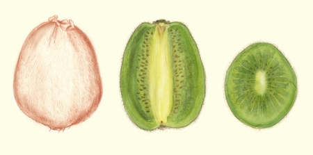 botanic: Kiwis  botanic illustration painted with watercolors