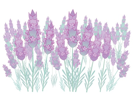 Beautiful lavender field Vector