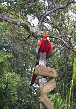 guacamaya: Macaw Rojo