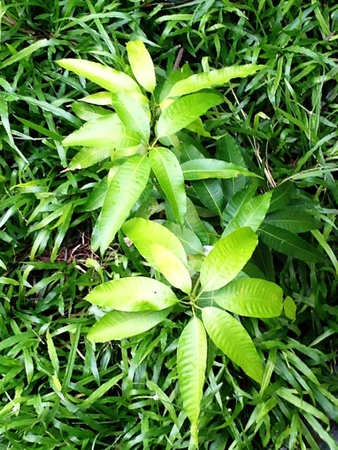 beside: Two young mango trees grow beside each other on the ground where green grass grows