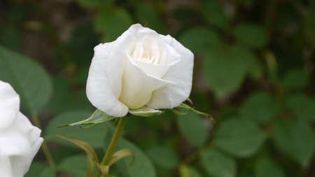close up: White rose close up