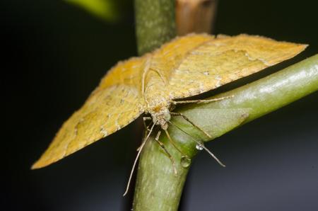 bilineata: Yellow Shell moth drinking water