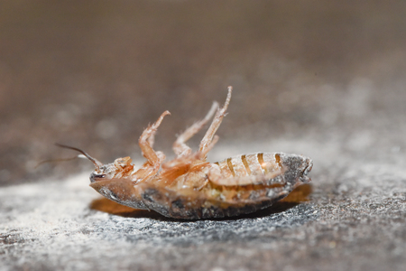 roach: Dubia Roach Playing Dead Stock Photo