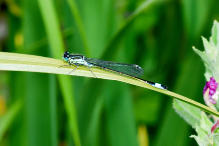 damselfly: Blue-tailed Damselfly on a Leaf