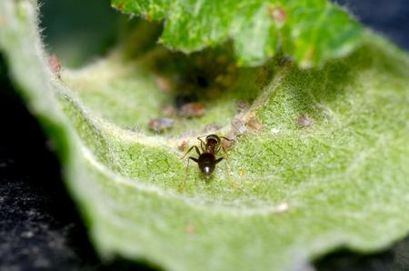 hormiga hoja: Hormiga de Cultivo áfidos en hojas