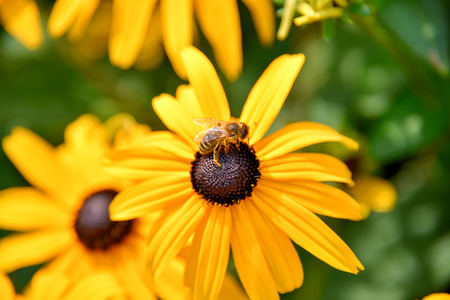eyeing: Bee on Black eyed susan flower Stock Photo