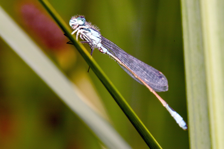 damselfly: Blue-tailed Damselfly Saluting Stock Photo