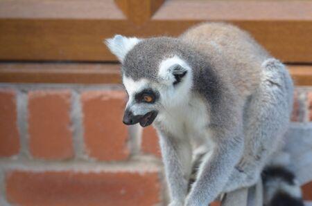 omnivore: Ring Tailed lemur startled