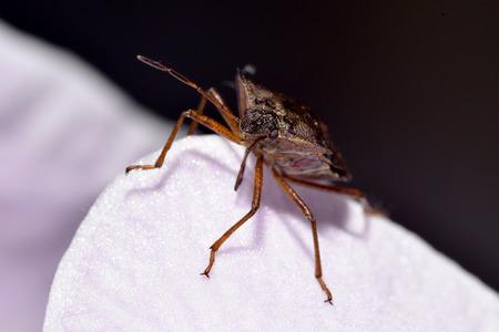 shieldbug: Forest Shield bug headshot on pink orchid petal