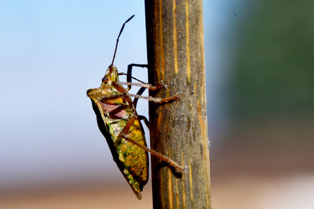 shieldbug: Forest Shield bug climbing up a twig Stock Photo