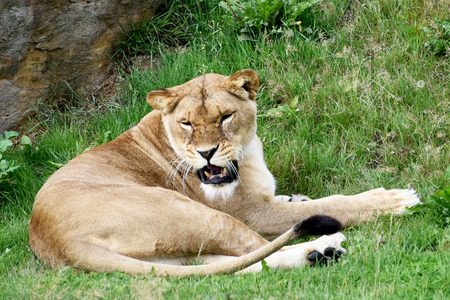 growling: Lioness Growling Stock Photo