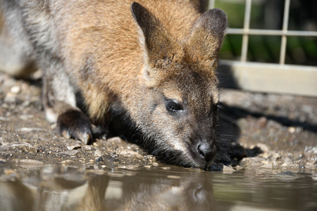 zoo youth: Wallaby Drinking from Puddle