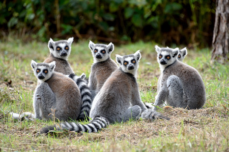 ring tailed: Ring Tailed Lemurs Troop Stock Photo