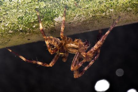 wolf spider: Garden Wolf Spider crawling upside down Stock Photo