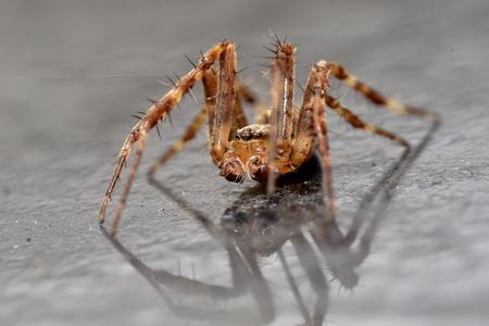 wolf spider: Garden Wolf Spider with reflection Stock Photo