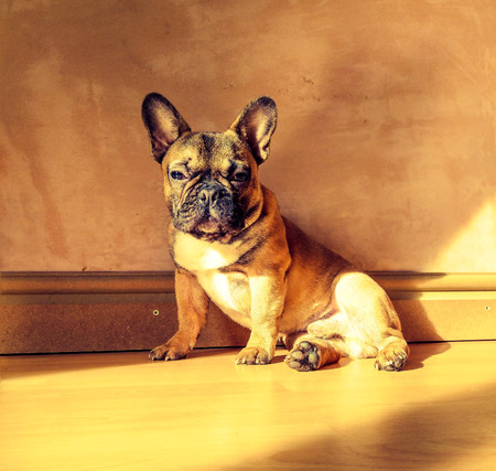 pure breed: Rustic French Bulldog Pure Breed