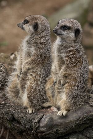 Couple of Meerkats Suricate standing and staring