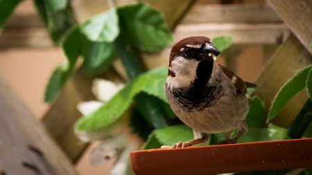 volatile: Sparrow photographed while eating